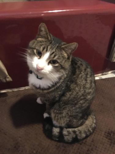 Lost Male Cat last seen Locust Grove Ct, Sully 2 Community, Centreville, VA 20120