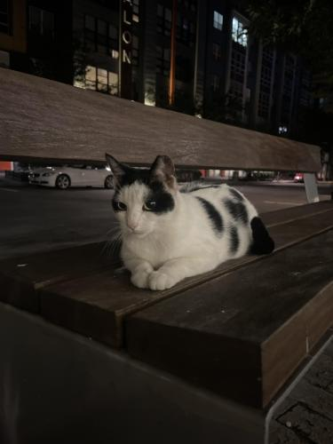 Found/Stray Unknown Cat last seen Gallows road and Merrilee dr, Annandale, VA 22042