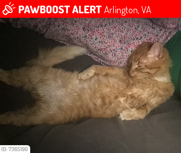 Lost Male Cat last seen Arlington Forest on N. Greenbrier St. just 1 1/2 blocks south of Carlin Springs Road, Arlington, VA 22203
