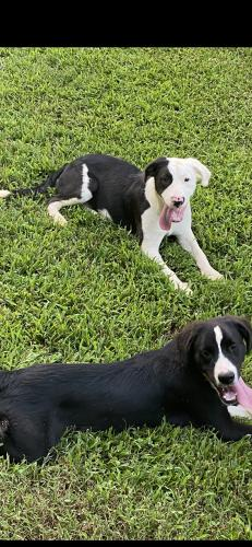 Lost Male Dog last seen Wilma Drive,  Adams est , Griffin Rd, Van Wyck Rd, Lancaster County, SC 29720