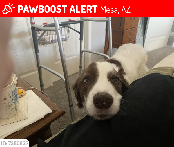 Lost Male Dog last seen University and Higley, Mesa, AZ 85201