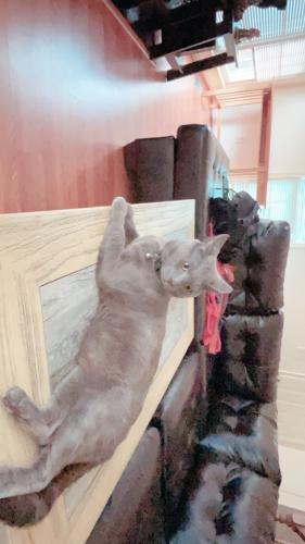 Lost Male Cat last seen Near rockton ct Centreville VA 20121 , Manassas, VA 20111