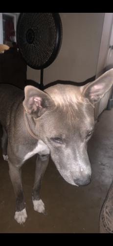 Lost Male Dog last seen Thunderbird 51st ave, Glendale, AZ 85304
