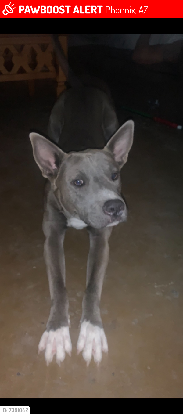 Lost Male Dog last seen Cactus and 51st avenue , Phoenix, AZ 85304