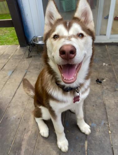 Lost Female Dog last seen Camp Alger ave falls church, West Falls Church, VA 22042