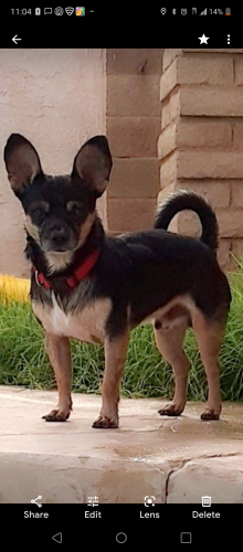Lost Male Dog last seen Near w Belmont Ave, Phoenix, AZ 85041