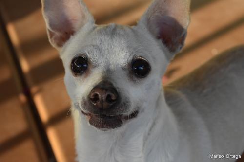 Lost Female Dog last seen Hardy and Yale, Tempe, AZ 85283