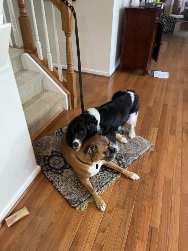 Lost Female Dog last seen Hemingway and Welty ct, Ashburn, VA 20147