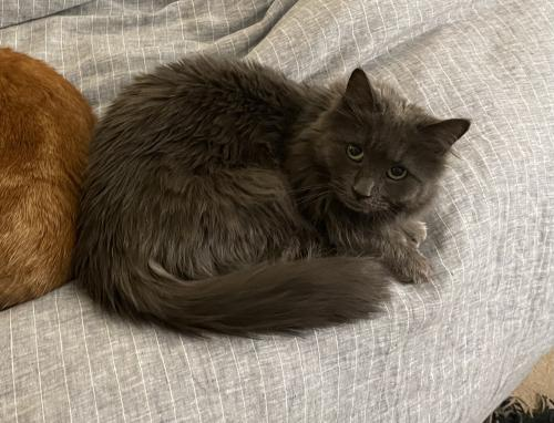 Lost Female Cat last seen Clarendon Blvd & N Cleveland St, Arlington, VA 22201