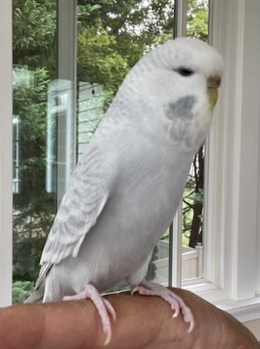 Lost Female Bird last seen Cavanaugh Drive & Cavanaugh Farm Way, Travilah, MD 20850