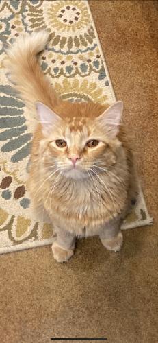 Lost Male Cat last seen Nicholson Lake Rd & Langhorn , Chappell Hill, TX 77426