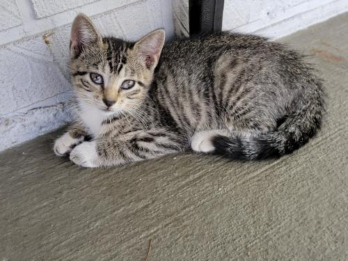 Lost Female Cat last seen N. Lauderdale on Forest Blvd between sw 79th Terr and sw 78th Terr, Broward County, FL 33068