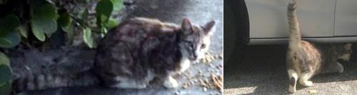 Found/Stray Female Cat last seen Near SW 57th ST, Davie, Davie, FL 33314