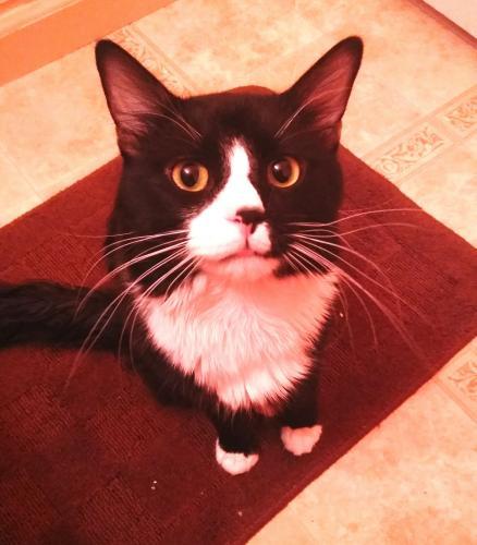 Lost Male Cat last seen VINE Ave and Locust St, San Jose, CA 95110