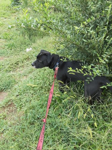 Lost Male Dog last seen Rimrock Road and Neely Wingard , Gilbert, SC 29054