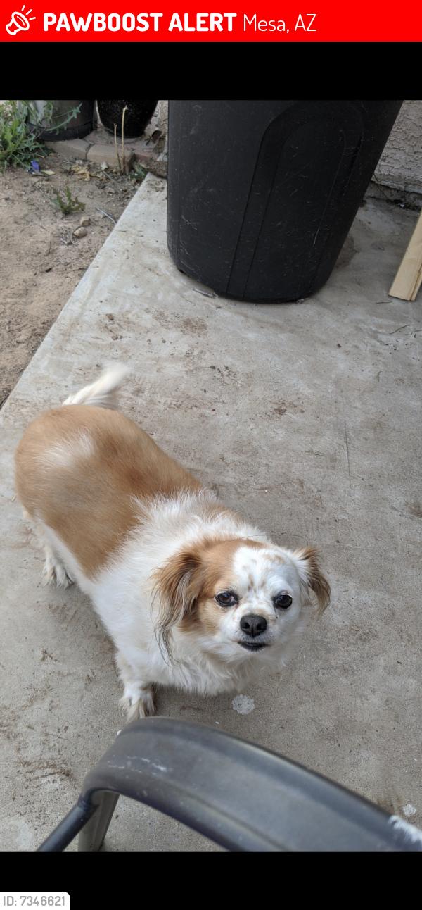 Lost Female Dog last seen University and Higley, Mesa, AZ 85205