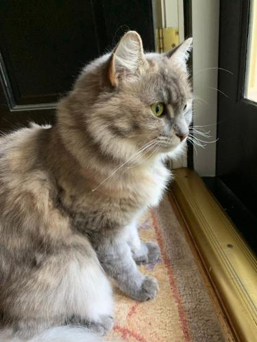Lost Female Cat last seen Harbor Dr & Seagate, Raleigh, NC 27615