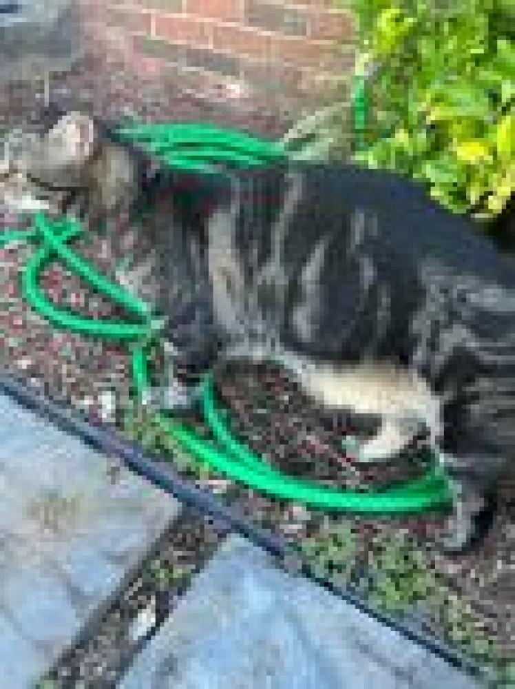 Shelter Stray Unknown Cat last seen Herndon, VA 20171, Fairfax, VA 22032