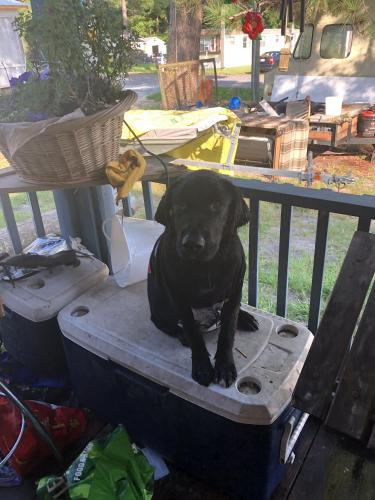 Lost Male Dog last seen fox hollow road conway, sc Near food lion , Conway, SC 29526