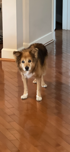 Lost Male Dog last seen Fuller Heights, Triangle, VA 22172