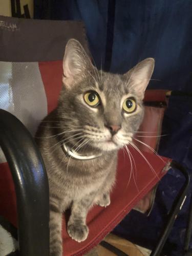 Lost Male Cat last seen Peppertree apmts, Lafayette, LA 70503