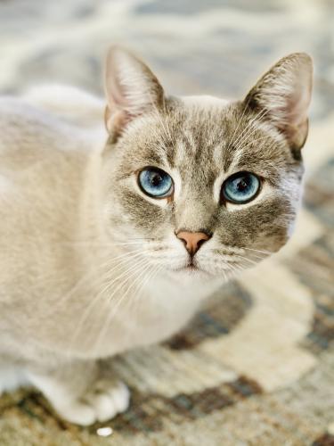 Lost Male Cat last seen Dudrow Ct and Lackawanna Dr, Springfield, VA 22150