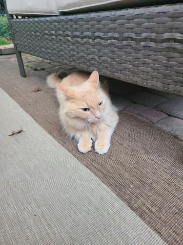 Found/Stray Female Cat last seen Saybrooke Gaithersburg Md 20877, Gaithersburg, MD 20877