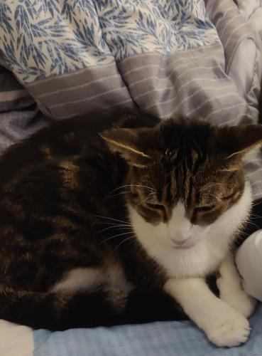 Lost Female Cat last seen Near Tuscany D and 6th Hole on Golf Course, ,