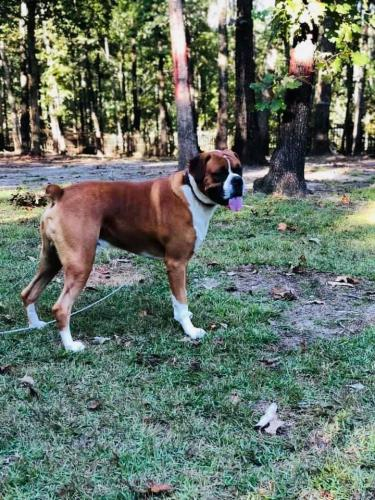 Lost Male Dog last seen Loner and Pive Road, and Pive and Blythewood Road, Blythewood, SC 29016