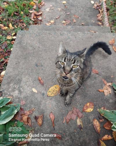 Found/Stray Male Cat last seen General Way and Conner Drive , Manassas Park, VA 20111