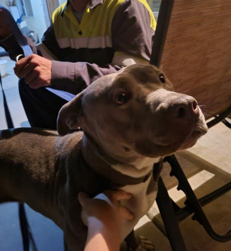 Found/Stray Female Dog last seen Found in the wash across from the parking structure of the casino by Lynwood and Victoria., Highland, CA 92346