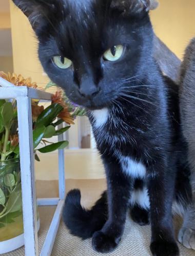 Lost Female Cat last seen Nathan Pl NE & Marshall Drive (near Leesburg Elementary), Leesburg, VA 20176
