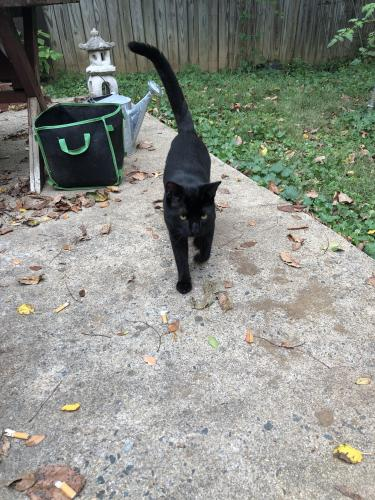 Found/Stray Male Cat last seen cul de sac off of south cleveland street, Arlington, VA 22204