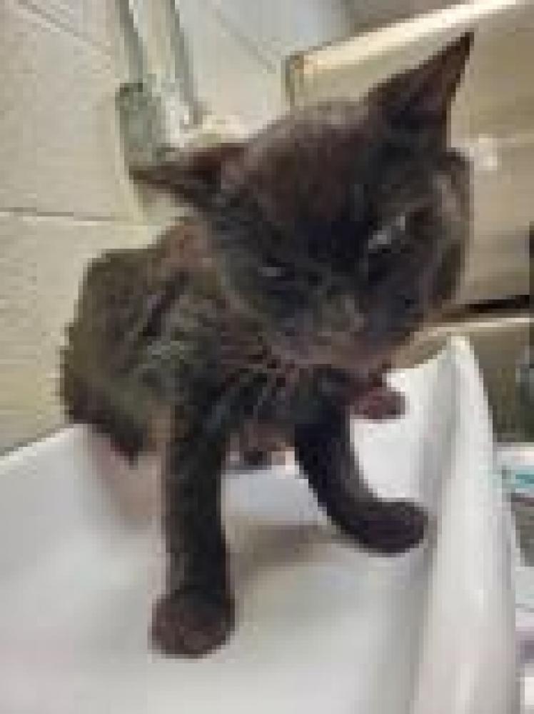 Shelter Stray Female Cat last seen Alexandria, VA 22308, Fairfax, VA 22032