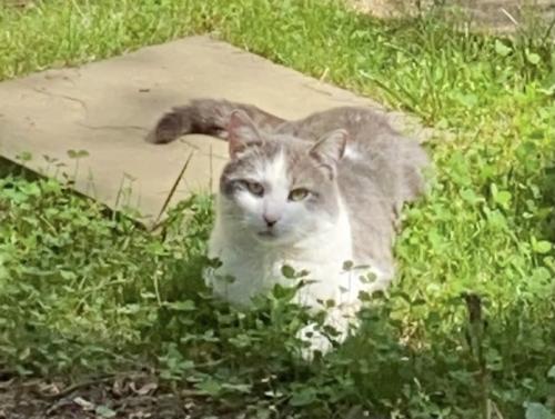 Lost Male Cat last seen Ogden st, Falls Church, VA 22043