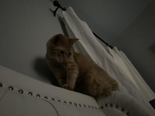 Lost Male Cat last seen Luigis reatauy, Myrtle Beach, SC 29577
