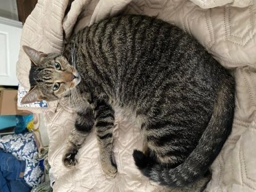 Found/Stray Male Cat last seen West Washington Street, CVS, Charles Town, WV 25414