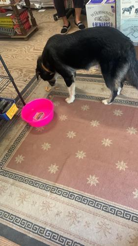 Found/Stray Male Dog last seen Cowboys Corner, Pageland, SC 29728