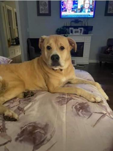 Lost Female Dog last seen Devonshire Dr. & Ambergate Ln., Berkeley County, SC 29461