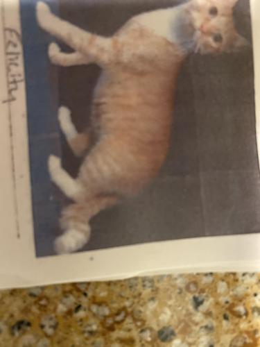 Lost Female Cat last seen Tabscott drive, Chantilly, VA 20151