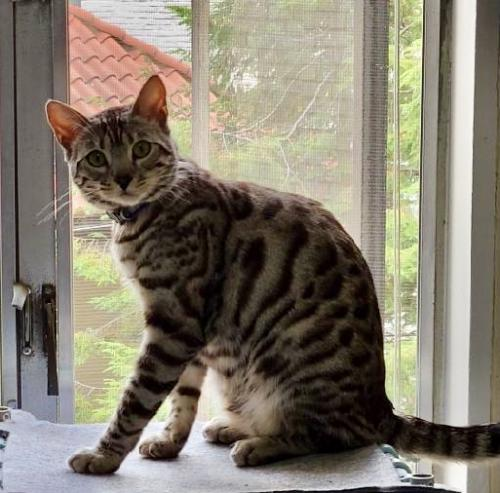Lost Male Cat last seen Adam's Morgan area, Washington, DC 20009