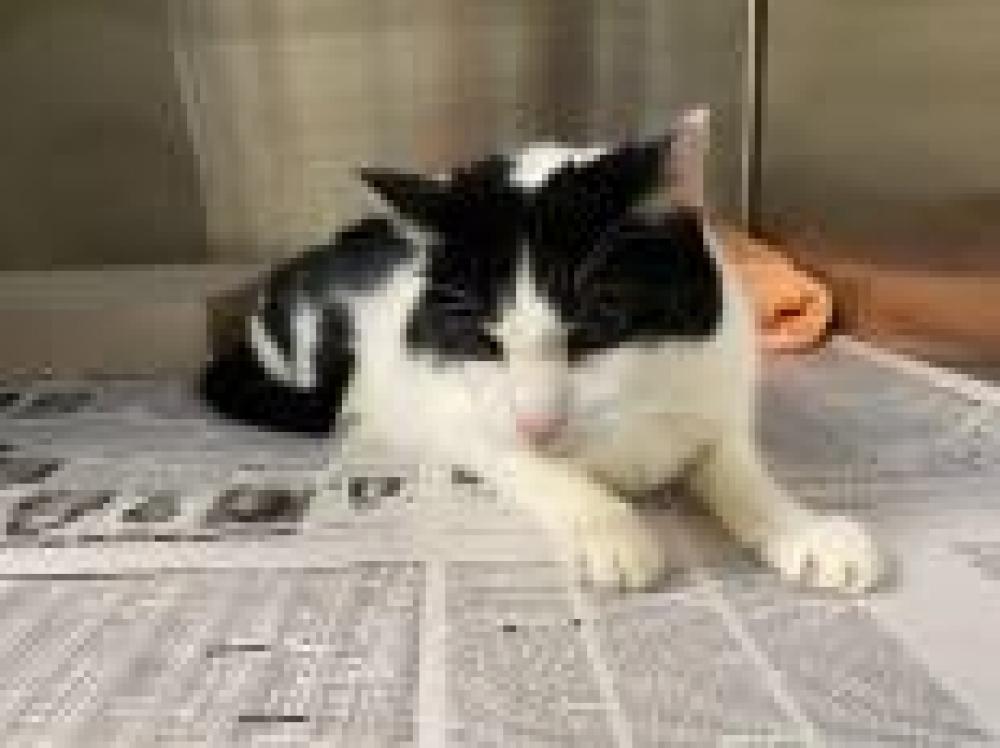 Shelter Stray Male Cat last seen Fairfax, VA 22030, Fairfax, VA 22032