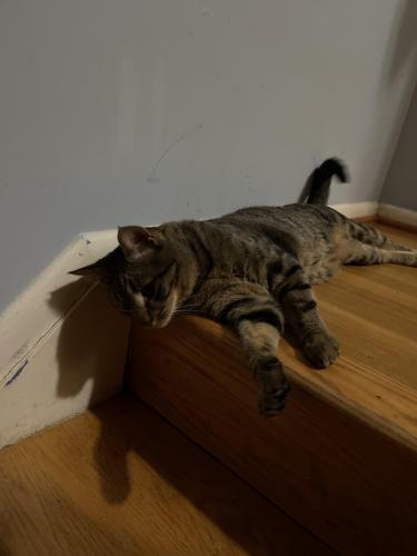 Lost Male Cat last seen Oak wood Drive and Woodfern Court, Lake Ridge, VA 22192