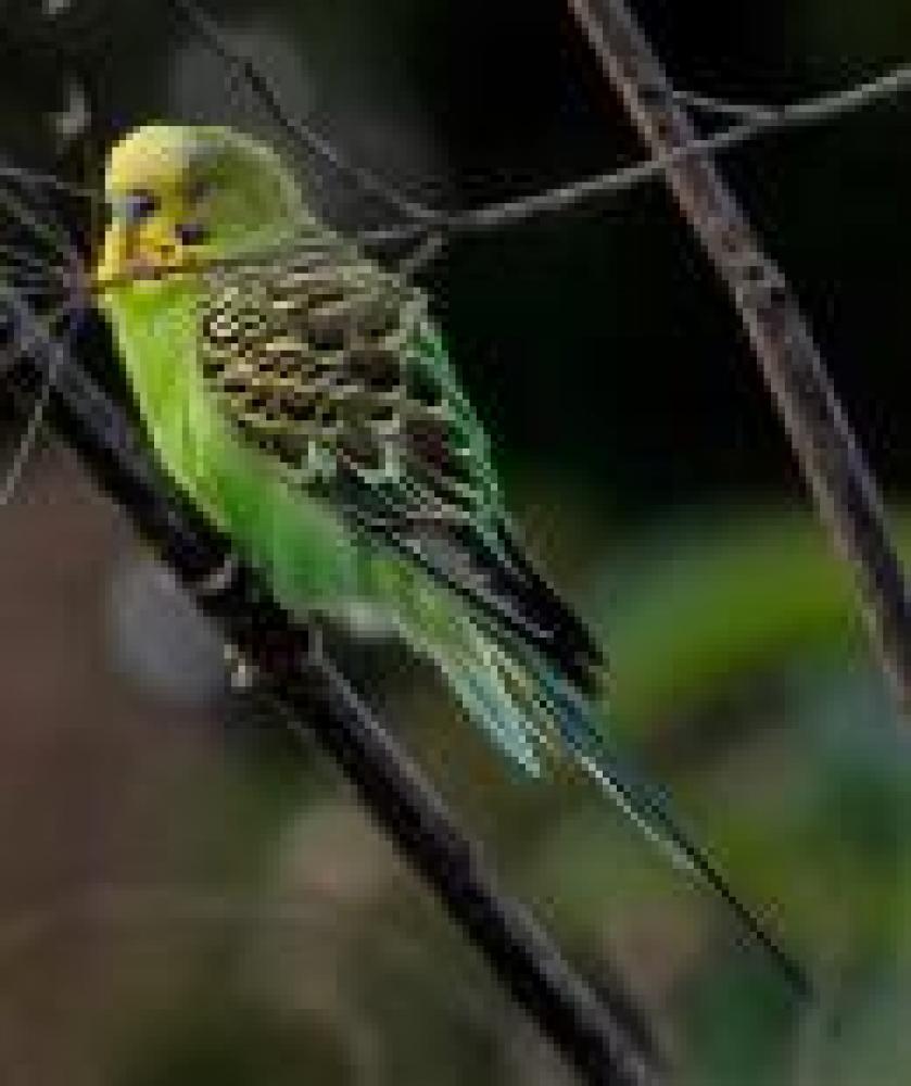 Shelter Stray Male Parakeet (budgie) last seen Centreville, VA 20120, Fairfax, VA 22032