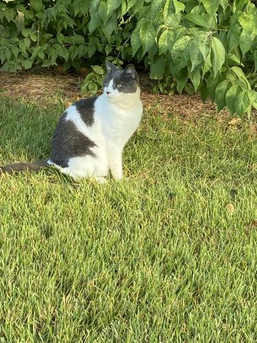 Found/Stray Female Cat last seen Hoskinson and Westerly , Poolesville, MD 20837