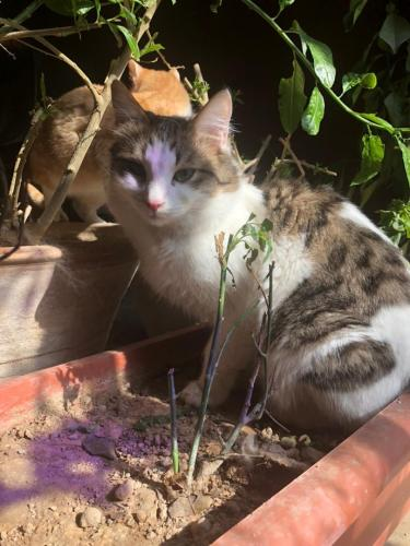 Lost Male Cat last seen Maplewood Court, Bethesda, MD 20814
