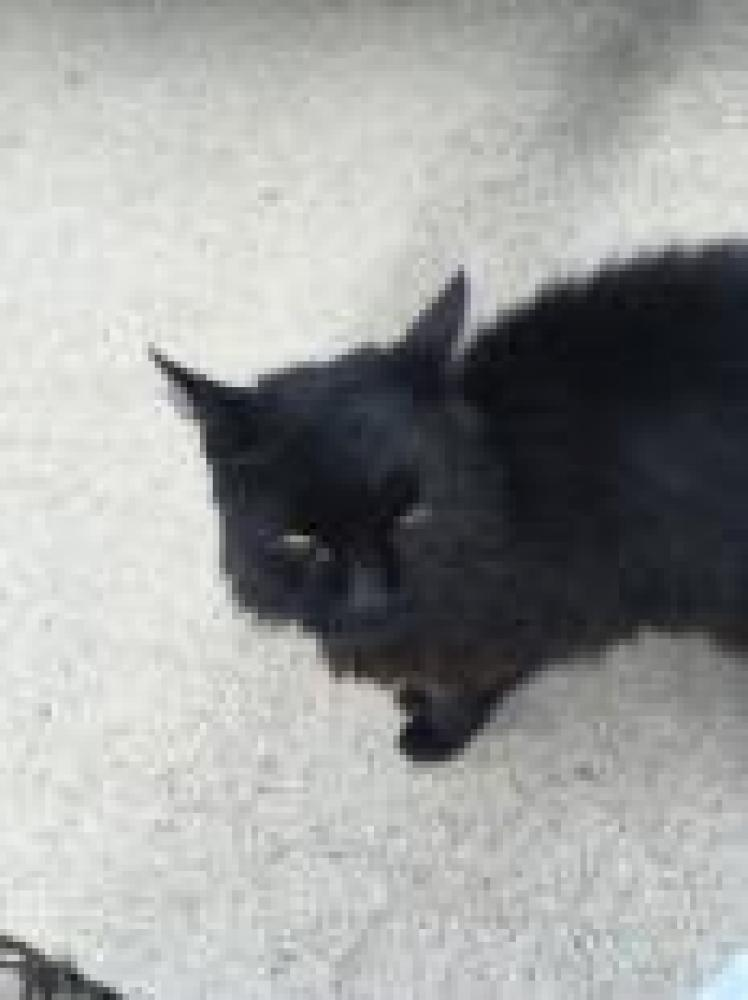 Shelter Stray Unknown Cat last seen Fairfax County, VA 22153, Fairfax, VA 22032