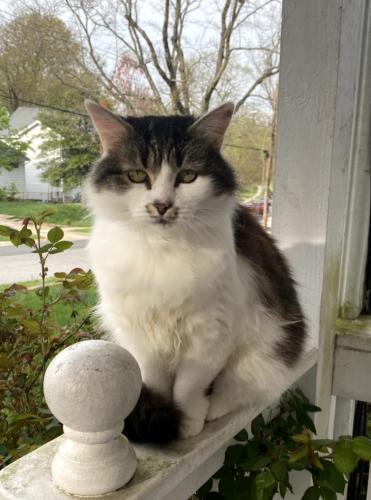 Lost Female Cat last seen Clagett Drive, Rockville, MD 20851