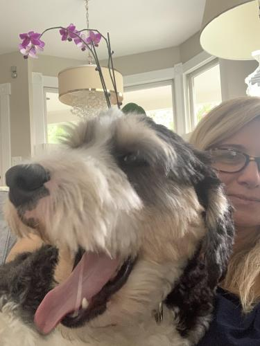 Lost Male Dog last seen Westmoreland and Poole Street , McLean, VA 22101