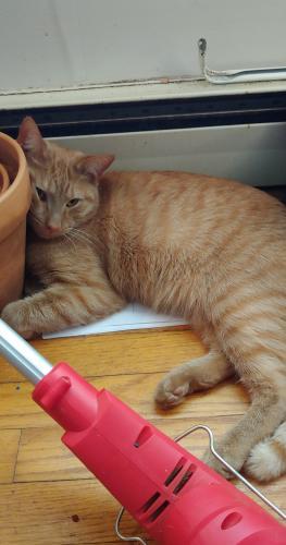 Lost Male Cat last seen Chimney Fields, Front Royal, VA 22630